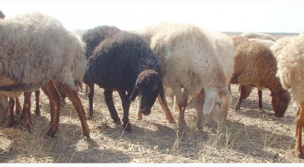 DSCF0073sheep.kurd