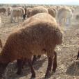 11.さまざまな羊