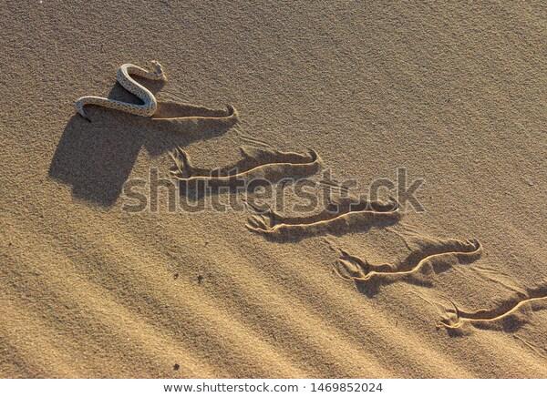 sidewinder-bitis-peringueyi-namib-desert-600w-1469852024